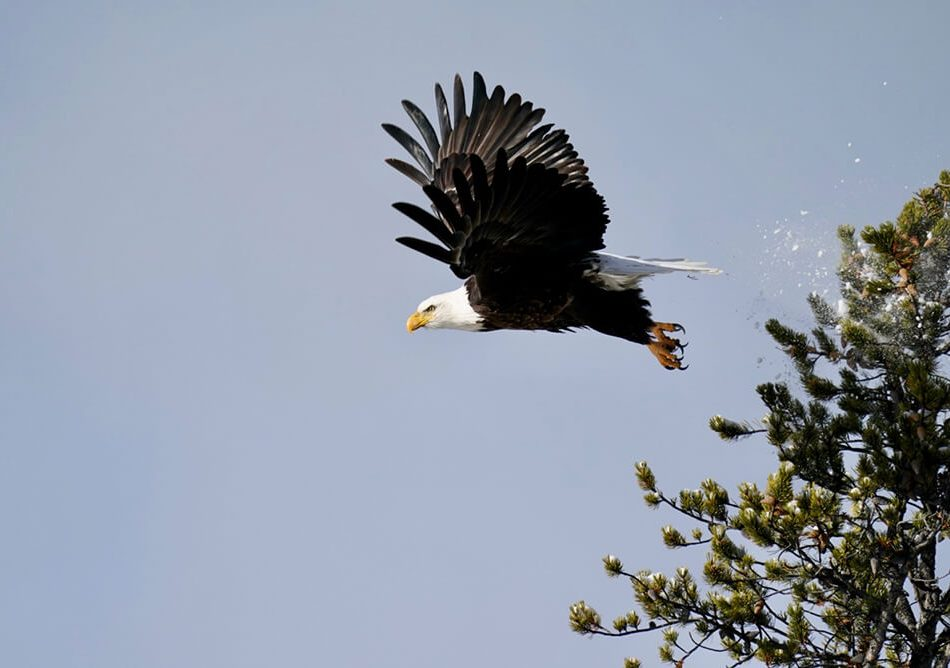 Majestic shot of the Eagle taking off after we started taking photos