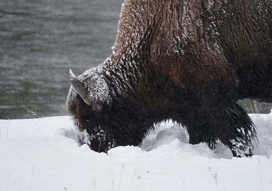 Bison closeup shot at Yellowstone
